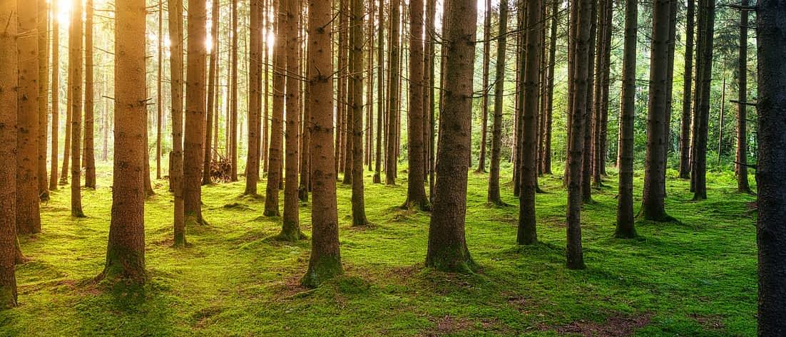 Sonne scheint durch die Baumkronen in einem Wald